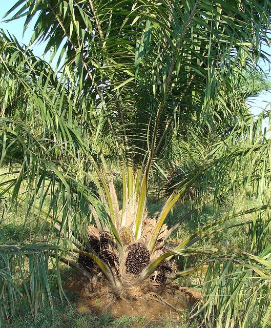oil-palm-287888_640