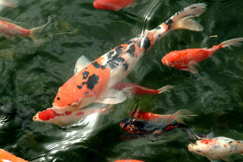 เงินไหลเวียนดีด้วยการเลี้ยงปลาคาร์ฟเป็นอาชีพเสริม