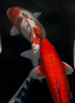 การเลี้ยงปลาคราฟ